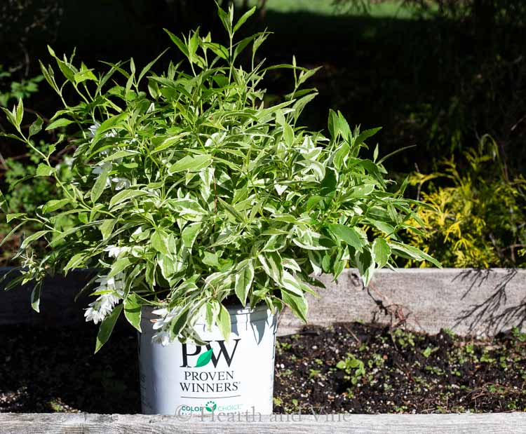 deutzia-proven-winners-container