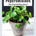 Pilea peperomioides in a clay pot