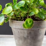 Full Pilea plant in a clay pot