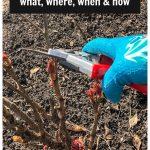 Pruning a tree peony