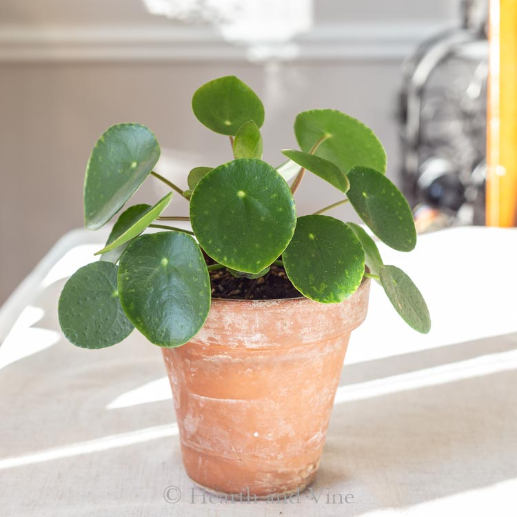 Pilea in clay pot on table