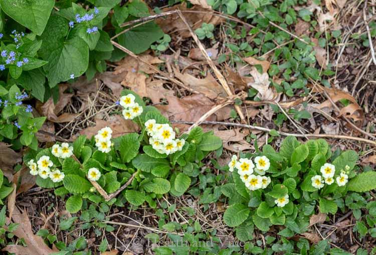 Dino's Primula vulgaris