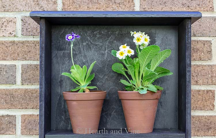 Shelf With Auricula Flowers