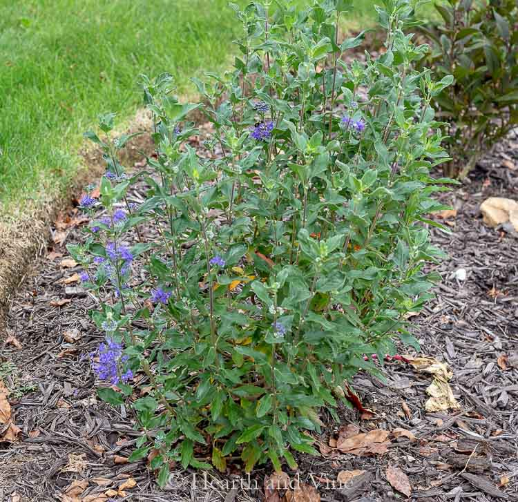Beyond Midnight Bluebeard Shrub
