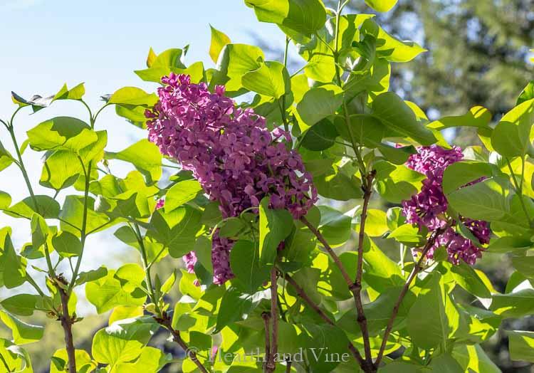 Lilac shrub Ludwig Spaeth