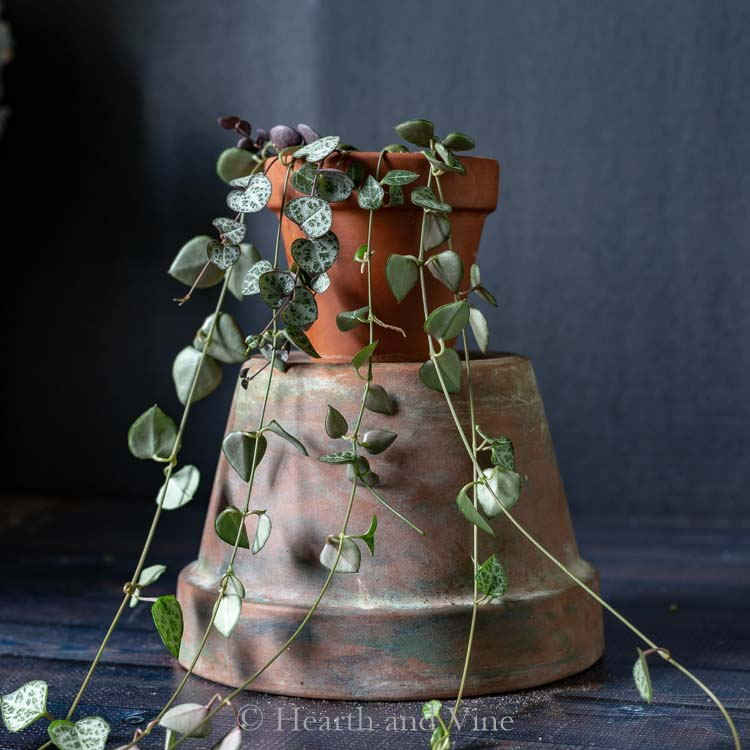 String of hearts plant sitting on a pot