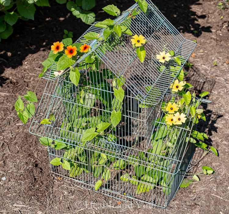 Orange and yellow black eyed susan vines growing in birdcage planter