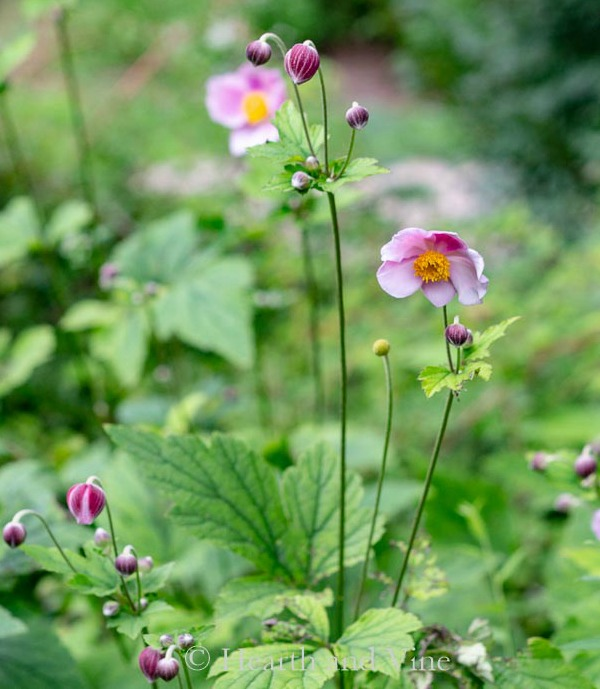Anemone September Charm in bloom and in bud.