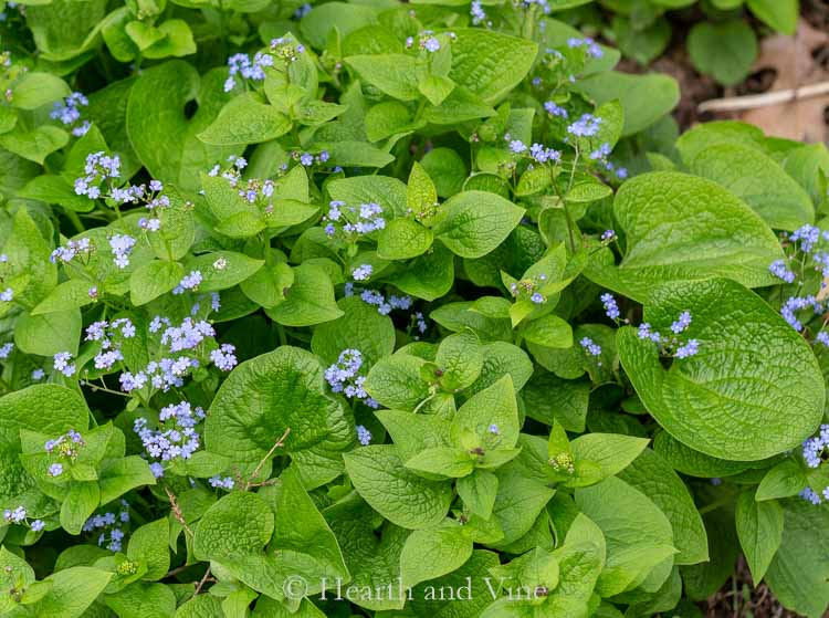 Brunnera - False Forget Me Not