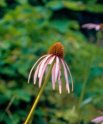 Endangered Echinacea Laevigata