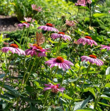 Echinacea Purpurea in garden with butterfly