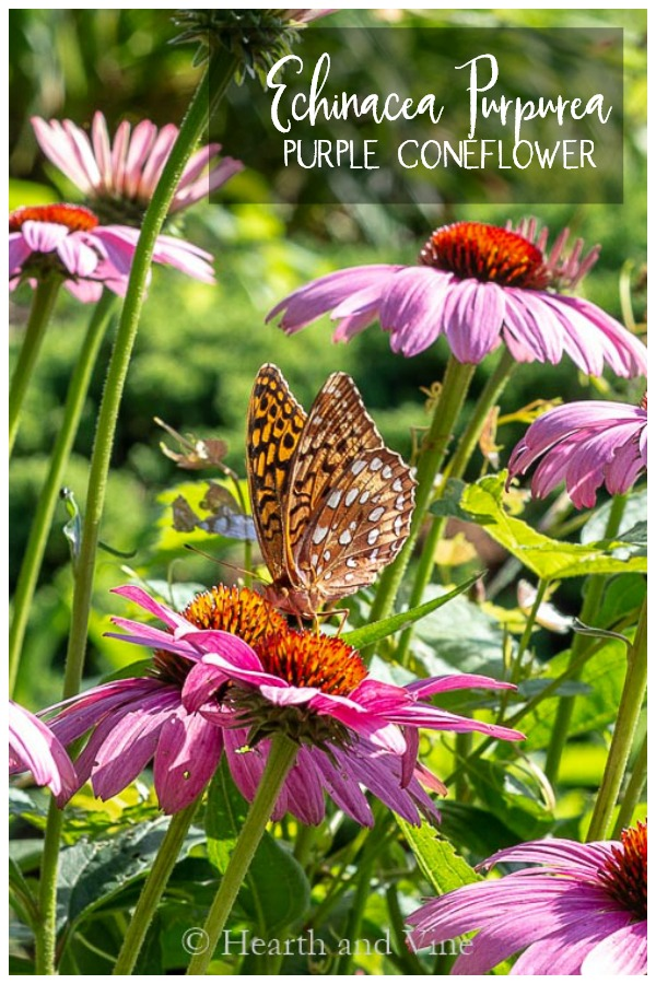 Butterfly on Echinacea Purpurea