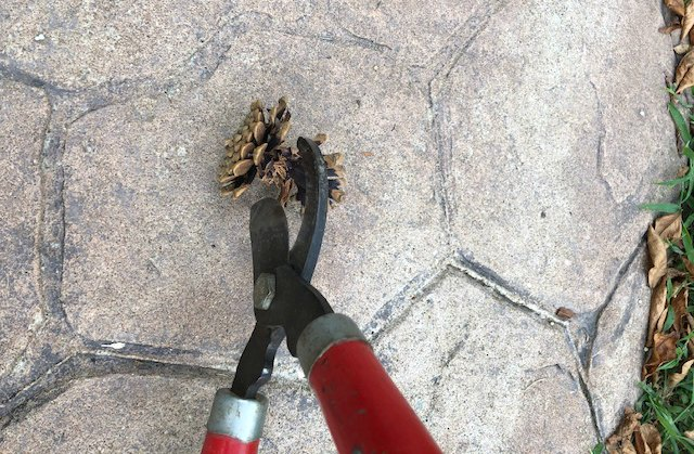 Loppers cutting pinecone