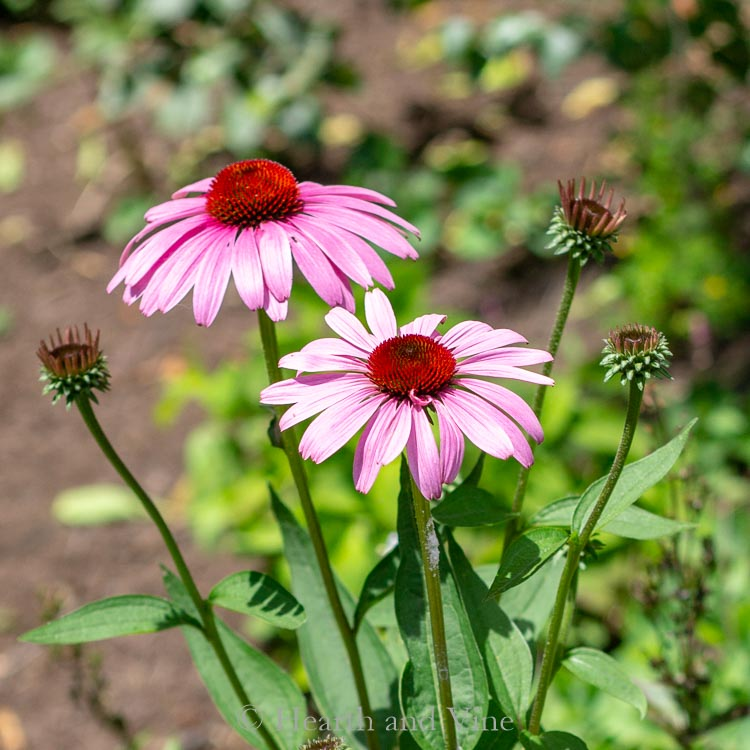 Purple Coneflower with buds