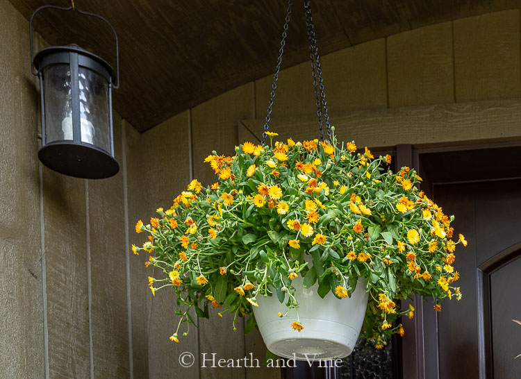 Orange calendula hanging basket