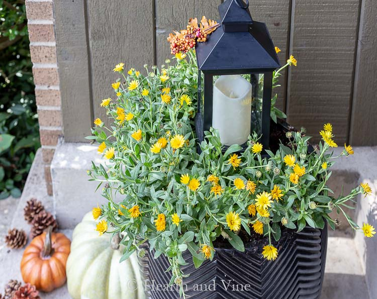 Lady Godive yellow English marigolds in a pot with lantern