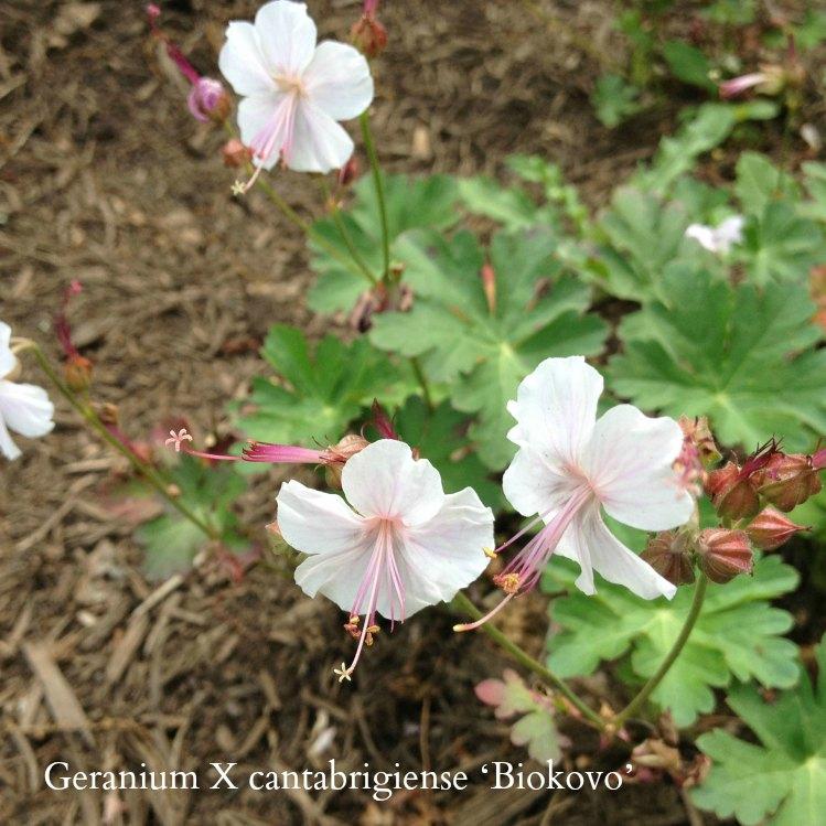Geranium-cantabrigiense-Biokovo