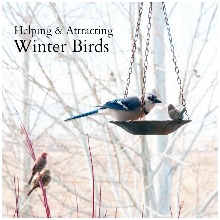 Bluejay at winter feeder