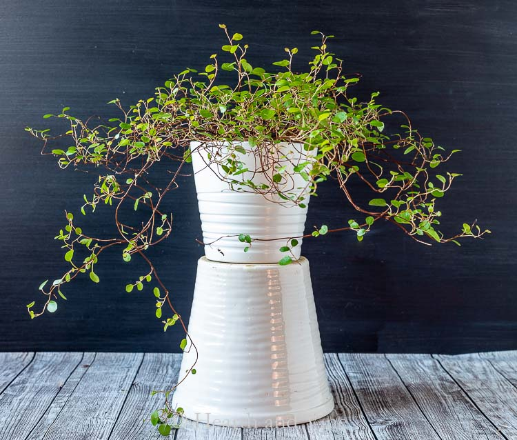 Maidenhair vine pot on top of another pot
