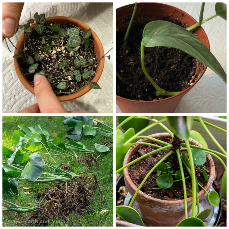 Collage of houseplants being propagated