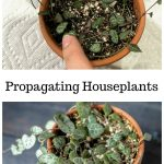 Propagating string of hearts plant