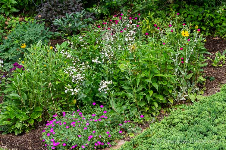 Back hillside with geraniums, penstemon, black eyed Susan and rose campion flowers.