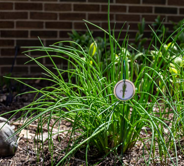 Chive plant marker in garden bed