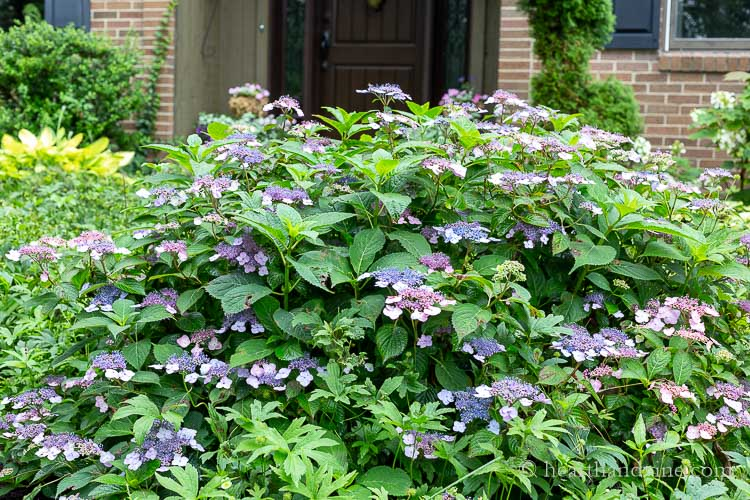 Lacecape hydrangea in front bed in bloom.