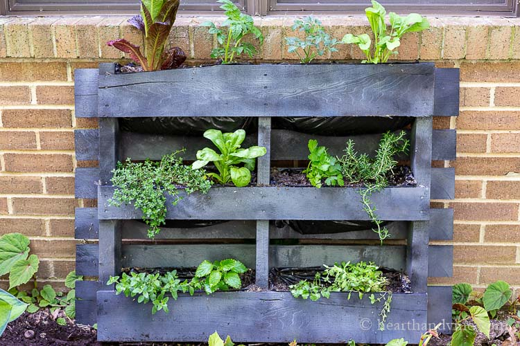 Painted, lined wood pallet with herbs and vegetable planted and set against wall of house.