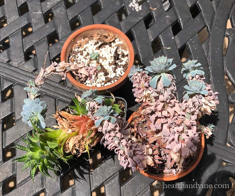 Old succulents