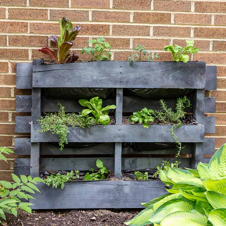Gray painted pallet with herbs and vegetables planted.