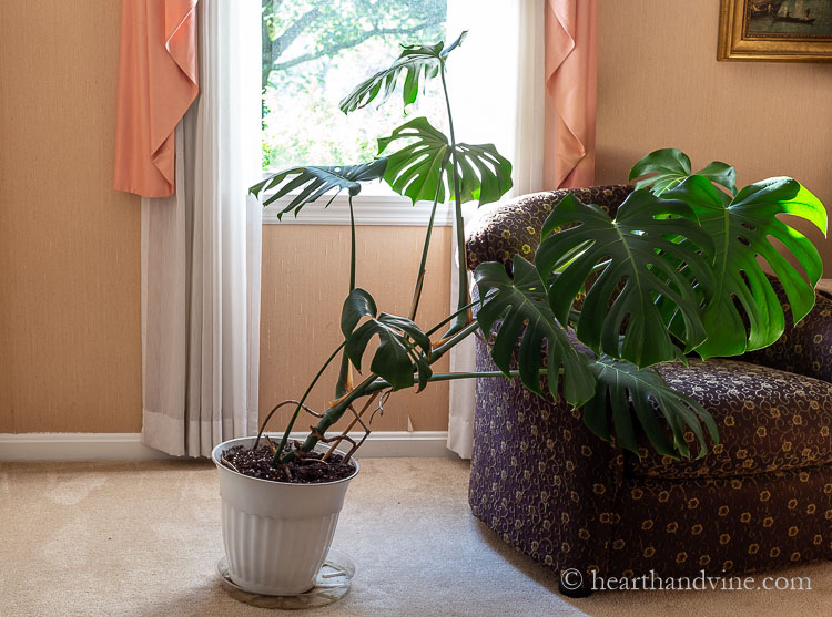 Monstera plant falling over from the weight.