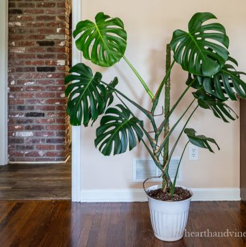 Monstera plant with moss pole