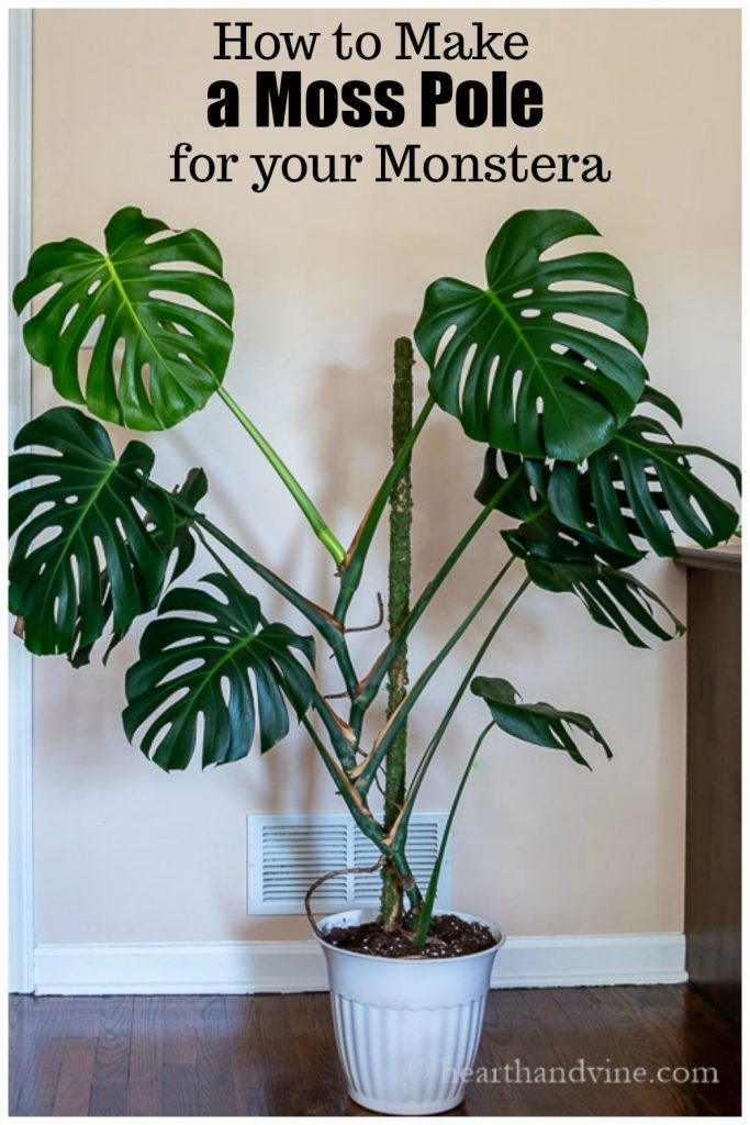 Monstera deliciosa near wall in a white pot with a moss pole in the center.