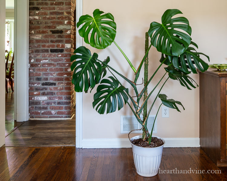 Monstera plant in family room with new moss pole offering support.