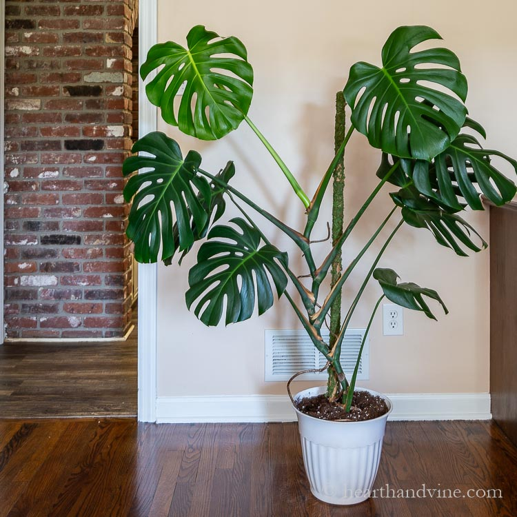 Large pot growing a Monstera with moss pole in the middle.