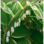 Solomon's seal in bloom