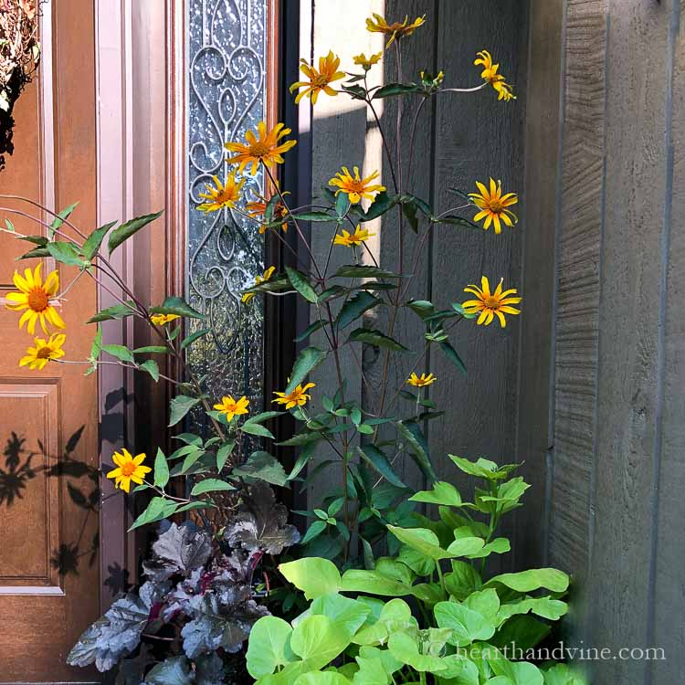 Fall flower planter with Heliopsis Burning Hearts, sweet potato vine and Heuchera Black Pearl.