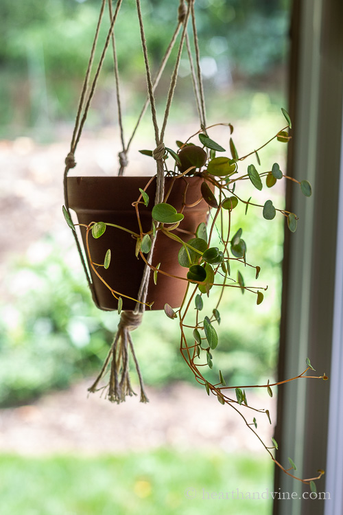 Ruby Cascade houseplant hanging in a window.