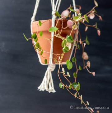 Ruby Cascade Peperomia hanging in a clay pot