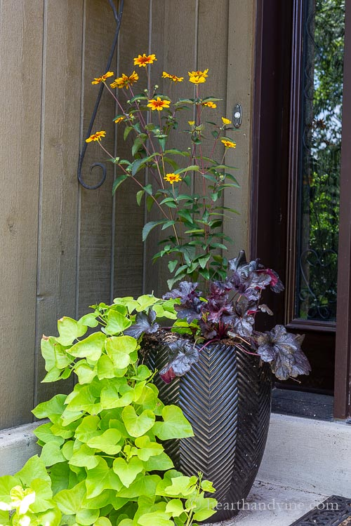 Oxeye sunflowers, black heuchera, and green sweet potato vine in a tall black cereamic pot.