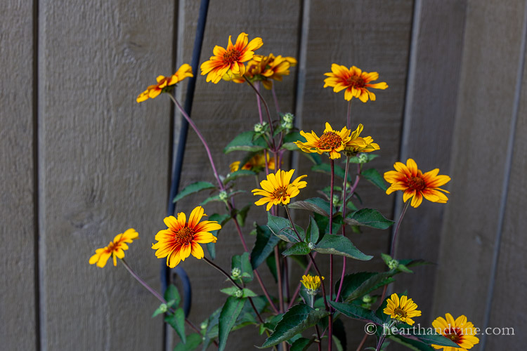 Heliopsis 'Burning Hearts' aka oxeye daisy or oxeye sunfower.
