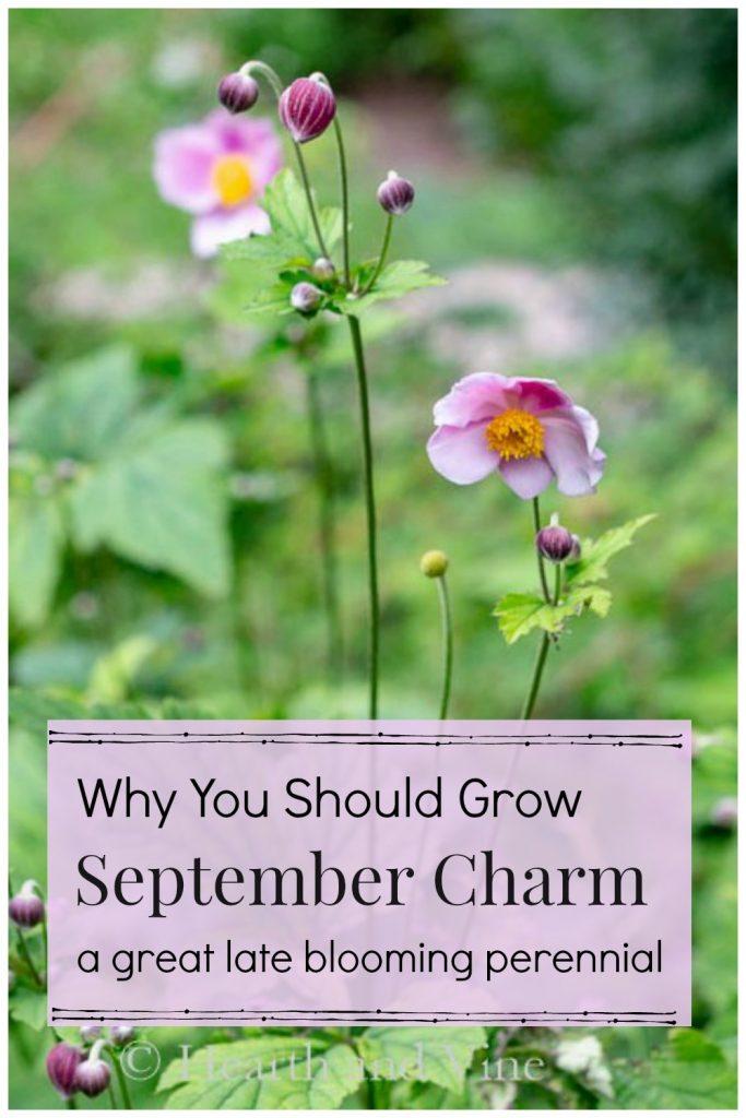 Anemone September Charm in bloom.