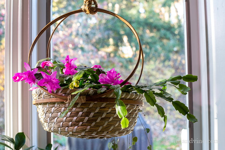 Thanksgiving cactus in bloom in a basket with a Christmas cactus not in bloom.