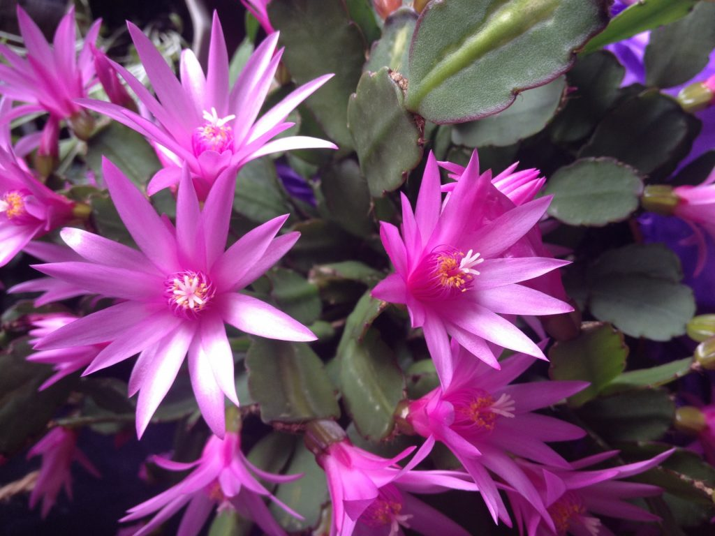 Easter Cactus in bloom