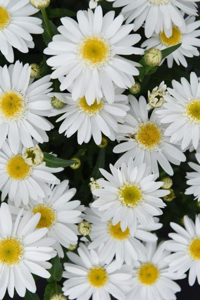 AAS Winner - Leucanthemum Sweet Daisy Birdy