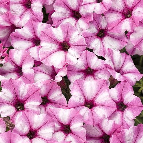 Proven Winners® Supertunia Mini Vista® Pink Star