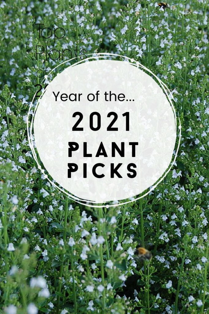 Calamintha with a text overlay saying Year of the 2021 Plant Picks.