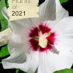 Rose of Sharon white with pink center