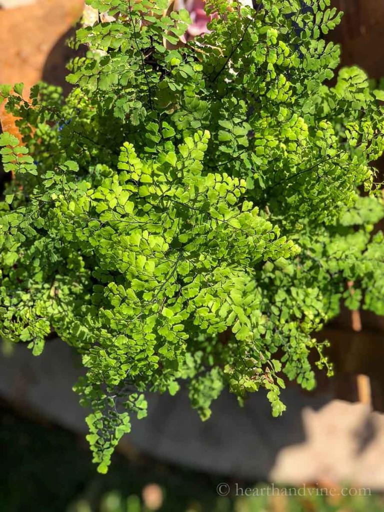 Maidenhair fern in the summer.